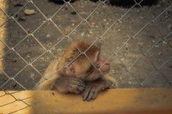 Apa i en bur Fotografering för Bildbyråer
