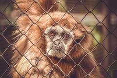 Apa i en zoo bak stänger arkivfoton