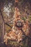 Apa i en zoo bak stänger royaltyfria foton