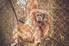 Apa i en zoo bak stänger arkivfoto
