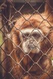 Apa i en zoo bak stänger fotografering för bildbyråer