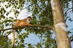 Apa i ett träd royaltyfri fotografi