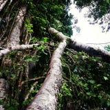 Apa i ett träd Arkivfoton