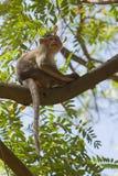 Apa i ett träd Arkivfoto