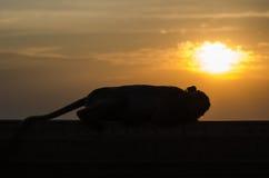 Apa i silhouette Royaltyfri Foto