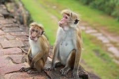 Apa i Sir Lanka Royaltyfria Bilder