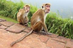 Apa i Sir Lanka Royaltyfri Bild