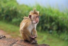 Apa i Sir Lanka Arkivbilder