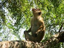 Apa i Sri Lanka Arkivbild