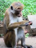 Apa i Sri Lanka Royaltyfri Fotografi