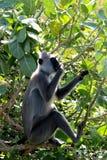 Apa i Sri Lanka Royaltyfria Bilder