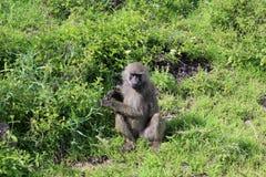 Apa i Tanzania Arkivfoto