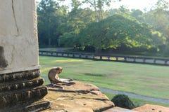 Apa i templet Arkivfoton