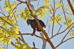 Apa i träden Fotografering för Bildbyråer