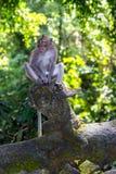 Apa i ubudskogen, Bali arkivbild