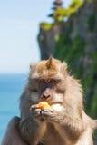 Apa i Uluwatu på kanten fotografering för bildbyråer