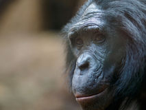 Apa i zoo Arkivfoto