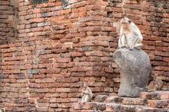 Apa (Lång-tailed macaque som Krabba-äter macaquen) Arkivfoto
