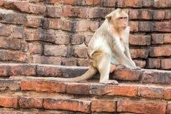 Apa (Lång-tailed macaque som Krabba-äter macaquen) Royaltyfri Bild