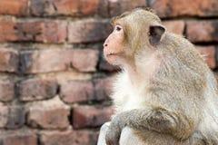 Apa (Lång-tailed macaque som Krabba-äter macaquen) Fotografering för Bildbyråer