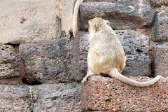 Apa (Lång-tailed macaque som Krabba-äter macaquen) Arkivbild