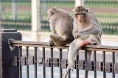 Apa (Lång-tailed macaque som Krabba-äter macaquen) Arkivbilder