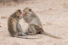 Apa (Lång-tailed macaque som Krabba-äter macaquen) Royaltyfria Foton
