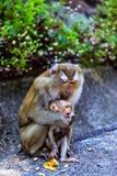 Apa med en behandla som ett barn på apakullen arkivfoton