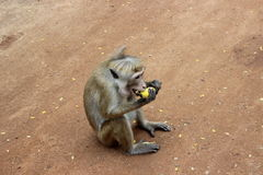 Apa med stora huggtänder som äter en banan Royaltyfri Foto