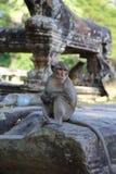 Apa på Angkor Wat Royaltyfria Bilder