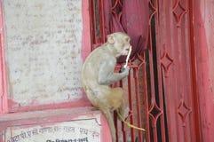 Apa på Ayodhya royaltyfri foto