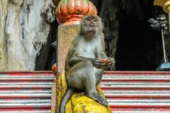 Apa på de Batu grottorna, Malaysia Arkivfoto