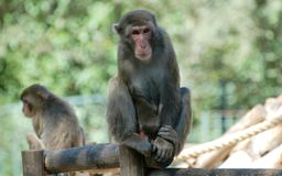 Apa på den Rome zoo Royaltyfria Foton