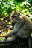Apa på den sakrala apan Forest Sanctuary, Bali, Indonesien Arkivfoton