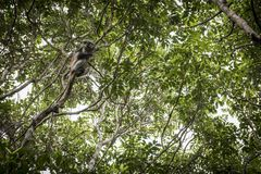 Apa på en filial i djungeln Royaltyfria Bilder