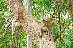 Apa på en tree Fotografering för Bildbyråer