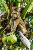 Apa på kokospalmen arkivfoto