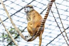 Apa på rep i zoo Royaltyfria Bilder