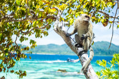 Apa på trädet i den Lipe ön Royaltyfri Bild