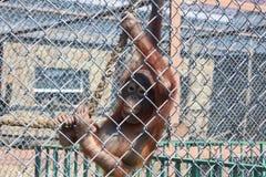 Apa på zoo Royaltyfri Foto