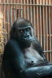 Apa p? zoo royaltyfri foto