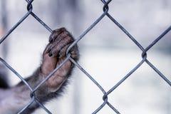 Apa` s tafsar på buren En i avsaknad av will för löst fä Det GreenPeace begreppet royaltyfria bilder