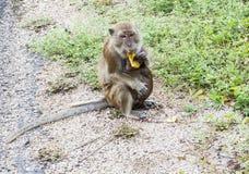 Apa som äter bananen Royaltyfria Foton