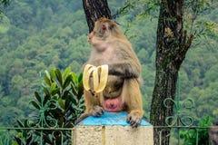 Apa som äter bananen Fotografering för Bildbyråer
