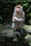 Apa som äter bananen Arkivbilder