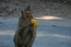Apa som äter bananen i Thailand royaltyfri fotografi
