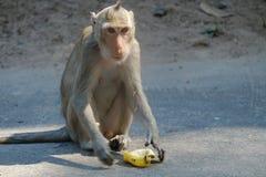 Apa som äter bananen i Thailand royaltyfri foto