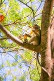 Apa som äter bananen på ett träd royaltyfri foto