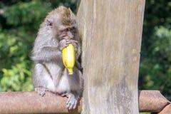Apa som äter bananer i Bali, Indonesien arkivbilder