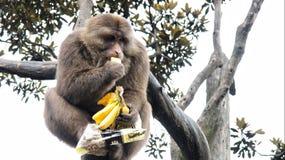 Apa som äter bananer och muttrar royaltyfria bilder